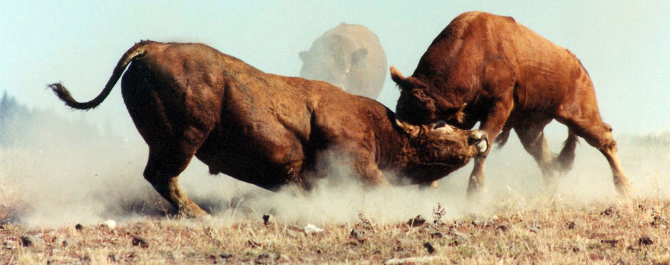 Bulls. Therio-gel, the veterinary fertility lubricant, can be used for collecting bull sperm.