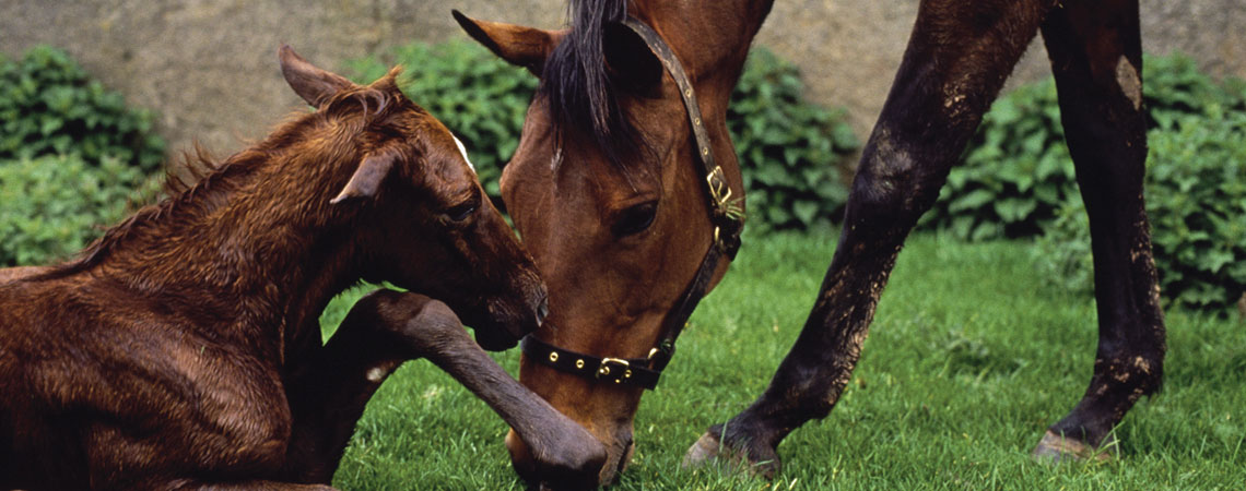 Newborn horse. Therio-gel, the veterinary fertility lubricant, can be used for lubricant for artificially inseminating mares.